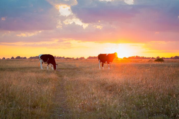 Kühe in Schweden