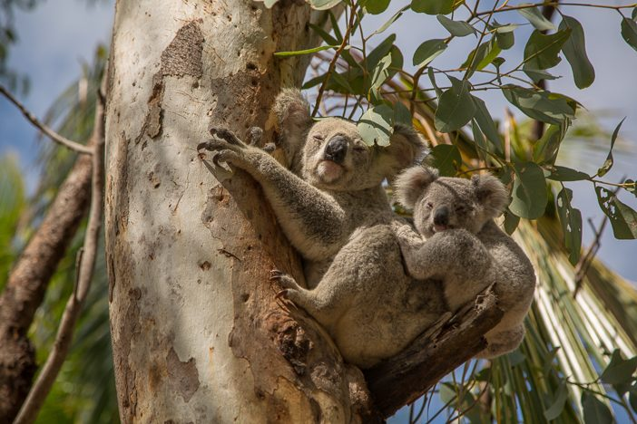 Koala-Mama mit Baby