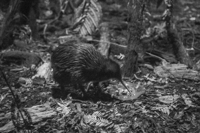 Ein Kiwi
