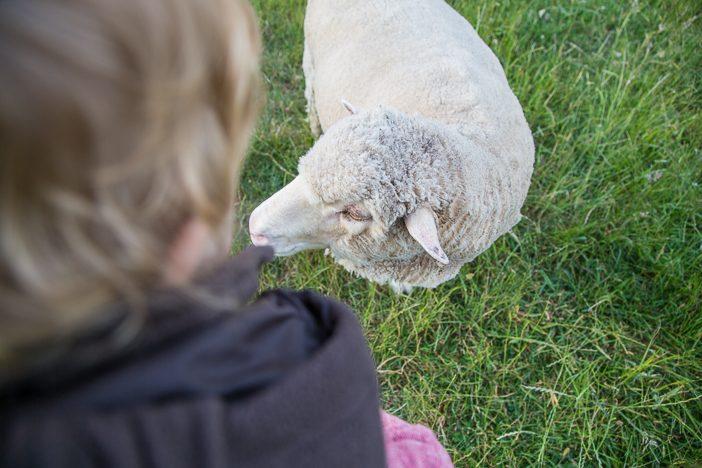 Paul entdeckt Schafe