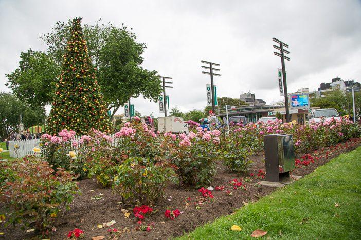 Rosen und Weihnachtsbaum - eine seltsame Kombination