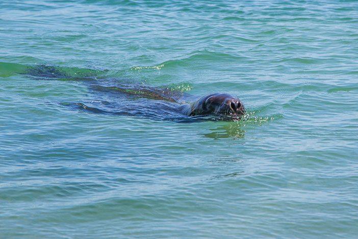 Seelöwen im Wasser